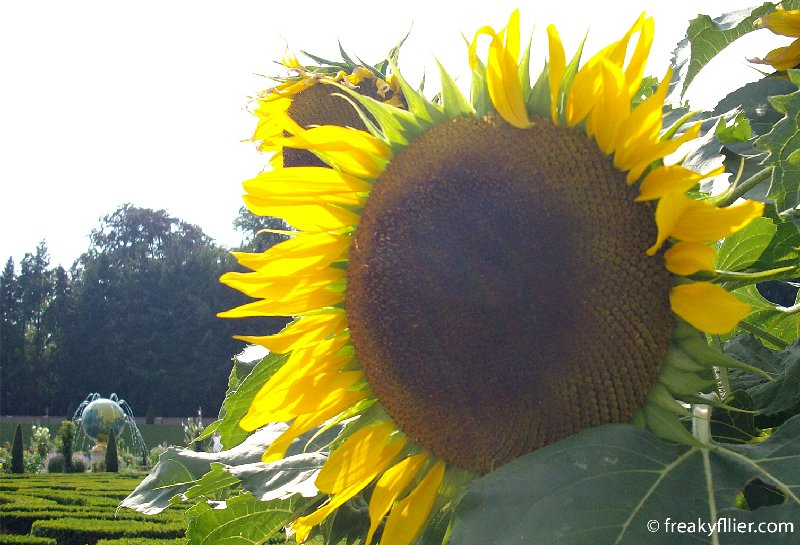Large sunflower at Het Loo Palace Gardens