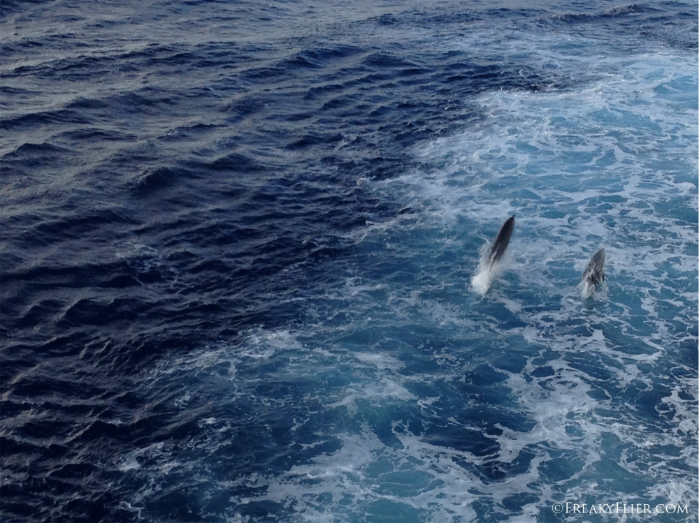 Dolphins alongside the Sea Princess