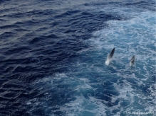 Dolphins alongside the Sea Princess